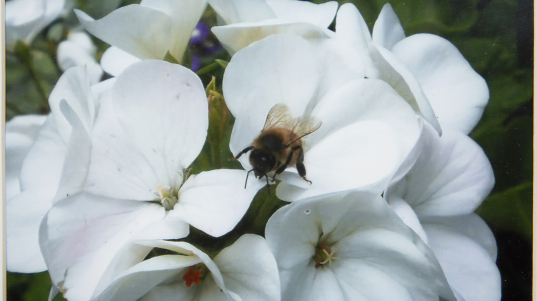 Photography - Bee on Geranium - photograph of white geranium's with a bumble bee on the petals of the flowers.