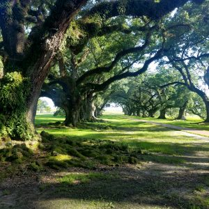 Photography - Canopied Path at Oak Alley - photograph of mature oak trees lining a walk path on both sides.