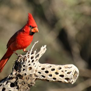 A red bird sittig on a unique piece of drift wood.