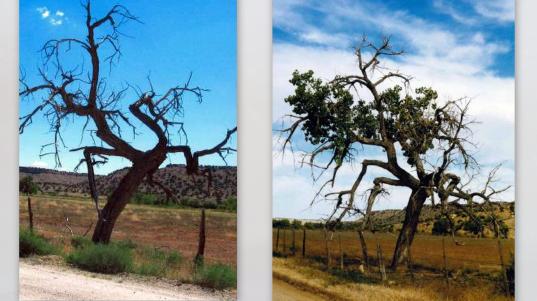 AbV_Bill Walter O Weary Tree